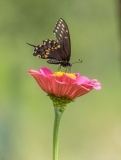 Butterfly of flower, Indonesia